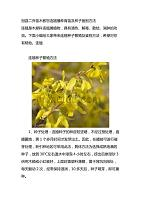 冠县二乔苗木教您连翘播种育苗及种子鉴别方法