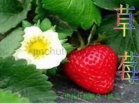 高中语文4.12《草莓》课件沪教版必修3